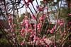 Koubai (Red Japanese Apricot) Blossoms @ Japanese Garden (kinjotx) Tags: tree garden japanese texas blossom houston bloom ume 2010 japaneseapricot koubai redplum prunusmume chineseplum kinjotx