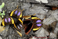 Convencin de mariposas / Butterfly's meeting (jjrestrepoa (busy)) Tags: butterfly insect