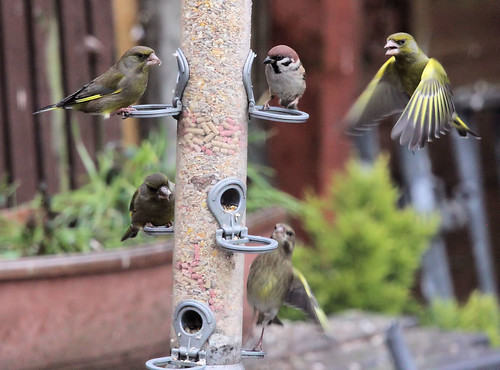 Greenfinches and Tree Sparrow