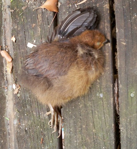 Brush turkey chick