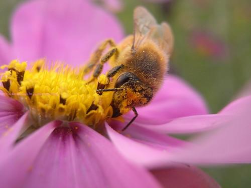 katharine娃娃 拍攝的 21忙採蜜的蜜蜂。