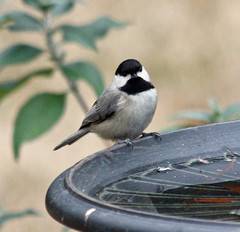 Great Backyard Birdcount: Carolina Chickadee (skyliner72) Tags: bird nature birdbath wildlife birding chickadee cornell carolinachickadee greatbackyardbirdcount gbbc birdcount