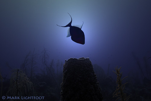 Queen Triggerfish In Silhouette