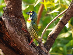 Is this Pose OK? (ravi_gogte) Tags: india crimson hill olympus pune coppersmith breasted barbet megalaima chaturshringi haemacephala e520