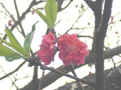 Peach: Flowers: Double-flowered: Red: In Rain