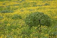 Aeonium balsamiferum 2 Feb10 LZ (lanzarote rural) Tags: españa naturaleza verde planta nature rural spain natural flor lanzarote canarias amarillo desarrollo aeonium tinajo endemismo autóctona endémica balsamiferum bejeque