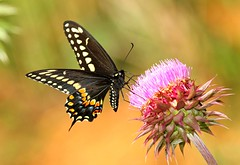 Black Swallowtail on Thistle (DrPhotoMoto) Tags: butterfly thistle northcarolina monarch pipevine tigerswallowtail spicebush blackswallowtail richmondcounty papiliopolyxenes specanimal abigfave superaplus aplusphoto macrolife