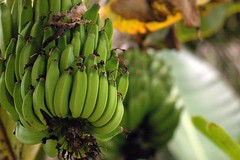 That's Just Bananas (John 3000) Tags: plants verde green hawaii bananas hi bigisland hilo zoos panaewarainforestzoo