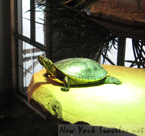 Posing Turtle