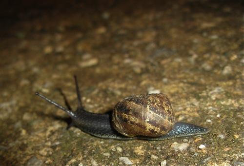 Garden Snail (by Simbel_myne)