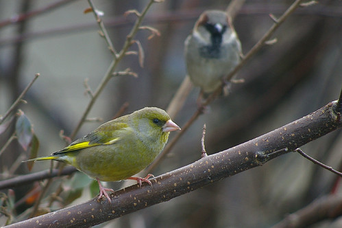 Greenfinch and House Sparrow