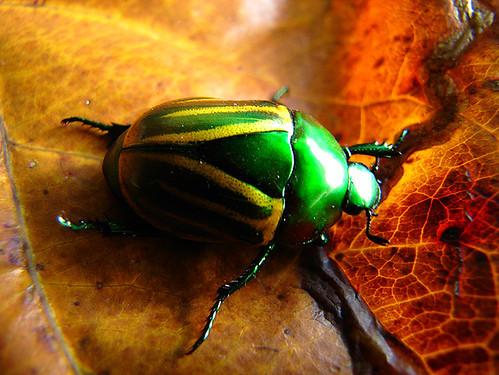 Besouro verde e amarelo metálico - Beatle - (ordem: Coleóptera)