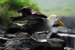 Galapagos Islands-476 (Tristan27) Tags: wild southamerica america ecuador wildlife galapagos albatross roundtheworld espanola galapagosislands wavedalbatross suarezpoint