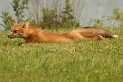 red fox sunning (Steve Courson) Tags: redfox stevecourson