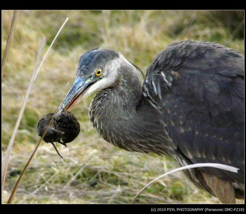 Great Blue Heron (Ardea herodias) catching a vole