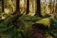 Hoh River Trail (RU4SUN2) Tags: forest washington nationalpark hoh rainforest hiking trail olympicnationalpark hohrainforest hohriver hohrivertrail centralpacificcoastalforests