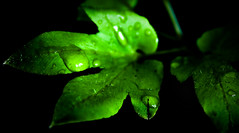exhausted (Lohb) Tags: green canon droplets peace bokeh kitlens 1855mm exhausted globalwarming greenleaf 500d savetrees saveearth savetree makelovenowar earthhour60 canongoesgreen theopenthread
