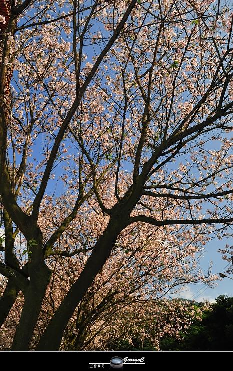 Sakura sunny 18