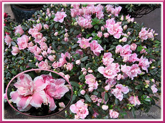 Rhododendron simsii or Azalea indica (baby pink/white bicolored variety), at a garden nursery