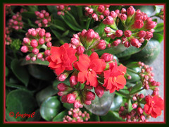 Kalanchoe blossfeldiana (Christmas Kalanchoe, Florist Kalanchoe, Flaming Katy) with red double flowers, at a garden nursery