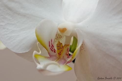 Orquídea macro