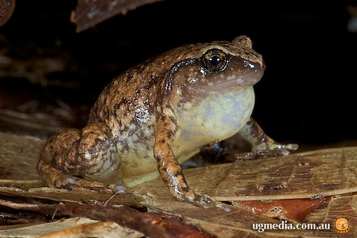 Robust whistlefrog (Austrochaperina robusta)