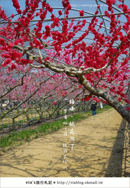 【梅峰農場桃花緣】最美的桃花隧道,就在南投梅峰這裡~(上)33