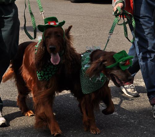 Irish Setter 2