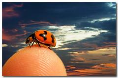 just how big is the world to a ladybug (puppies8691) Tags: sunset sky nature animal bug insect nikon beetle sigma ladybug coth newacademy puppies8691 jneff mjtleneffimages howbigistheworldtoaladybug ladybuginthesunset wwwjneffphotographycom