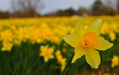 Wye Mountain Daffodil Festival