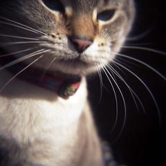 Missy's whiskers (abdukted1456) Tags: macro 120 closeup cat mediumformat holga kitten kitty siamese whiskers agfa 120n expiredfilm diopter xps portrait160