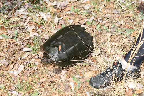 snapping turtle at chincoteague nwr