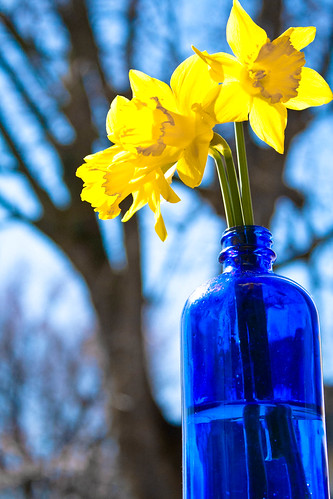 95/365 - Daffodils in the Sun