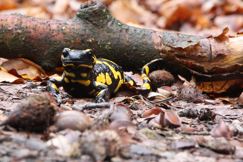 trächtiges salamanderweibchen
