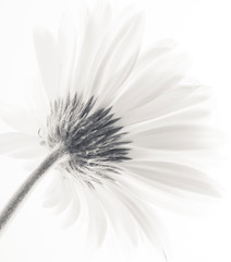 High Key Daisy (laughlinc) Tags: white flower blackwhite petals stem gerbera frombehind daisy highkey lightroom 50mm18 nikond80 thechallengefactory wiobw laughlinc