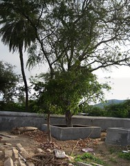 Vilva Tree.. (by Raju's Temple Visits)