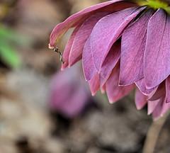 Plumbago (Life Below the Mason-Dixon Line) Tags: plant flower nature garden virginia spring nikon purple bokeh plum saturday va bloom meadowlarkbotanicalgardens springtime ceratostigmaplumbaginoides d5000 hpps perfectpurplesaturday plubbago