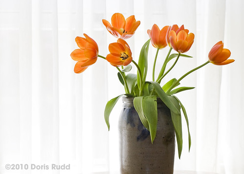 Tulips by WIndow