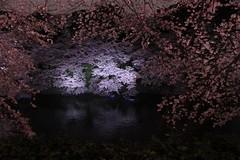 桜のトンネル抜けたら桜