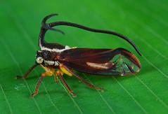 Bizarre treehopper (Umbelligerus sp)