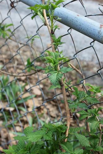 raspberry vines