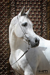 Amer (Hamad Al-meer) Tags: horse canon eos kuwait hamad amer        almeer alzain        hamadhd hamadhdcom wwwhamadhdcom