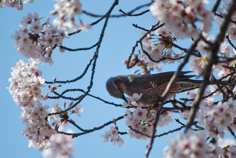 bird in sakura_8147