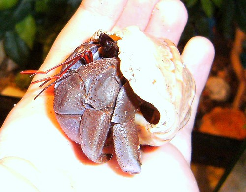 Coenobita Violascens