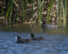 American Coots Photo