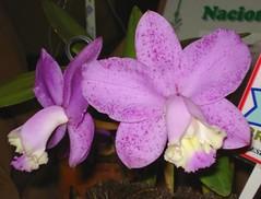 Cattleya loddigesii (''Martinelli'' x puntacta ''Marisa'') (Guilherme Corigliano) Tags: orchid cattleya nacional orquídea espécie guaxupé loddigesii