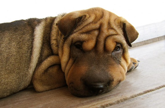 puppy wrinkles 2