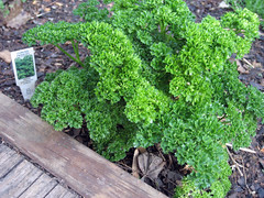 parsley survived winter?