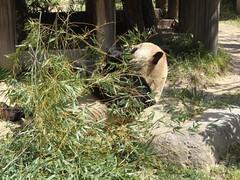 王子動物園パンダ 20100410