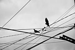 fro (aN ACciDenT) Tags: byn blancoynegro gris viento bn cables cielo nublado palomas riocuarto volar